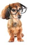 mądry pies Zdjęcia Royalty Free