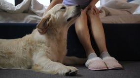 Mądry pies utrzymuje zegarek nad zwierzę domowe właściciela kapciami zbiory