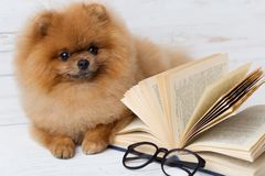 Mądry pomeranian pies z książką Pies osłaniał w koc z książką Poważny pies z szkłami Pies w bibliotece Zdjęcia Stock