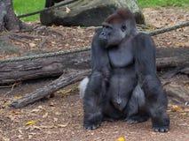 Mądrze żeński orangutan Zdjęcie Stock