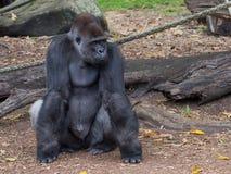 Mądrze żeński orangutan, Sydney Zdjęcie Royalty Free