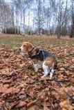 Mądrze beagle szczeniak na spacerze w miasto parku Tricolor Beagle szczeniak ogląda pokojowego jesień krajobraz obrazy stock