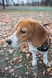 Mądrze beagle szczeniak na spacerze w miasto parku Tricolor Beagle szczeniak ogląda pokojowego jesień krajobraz obraz royalty free