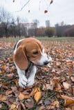 Mądrze beagle szczeniak na spacerze w miasto parku Tricolor Beagle szczeniak ogląda pokojowego jesień krajobraz obraz stock