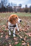 Mądrze beagle szczeniak na spacerze w miasto parku Tricolor Beagle szczeniak ogląda pokojowego jesień krajobraz fotografia stock