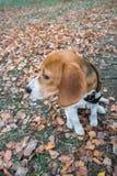 Mądrze beagle szczeniak na spacerze w miasto parku Tricolor Beagle szczeniak ogląda pokojowego jesień krajobraz zdjęcia stock