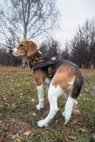 Mądrze beagle szczeniak na spacerze w miasto parku Tricolor Beagle szczeniak ogląda pokojowego jesień krajobraz obrazy royalty free