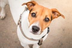 Mądrze spojrzenie pies patrzeje kamerę fotografia stock
