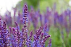 Mądrzy kwiaty, szałwii officinalis, mogą, Dobrogea fotografia stock