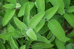 Mądrzy roślina liście, szałwii officinalis fotografia royalty free