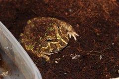 mężczyzna żaby zwierzęcia domowego pospolita żaba fotografia royalty free