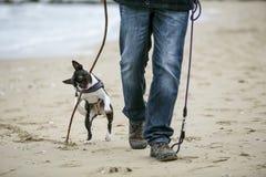 Mężczyzna bawić się z obrotnym czarny i biały Boston Terrier fotografia royalty free
