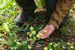 Mężczyzna dotyka pierwiosnkowych kwiaty z jego ręką zdjęcia stock