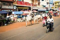 Mężczyzna i kobiety jeździeccy motocykle z krowami zestrzelają główną ulicę zdjęcie stock