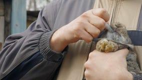 Mężczyzna inoculating królika, wstrzykuje strzykawkę zdjęcie wideo