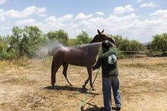 Mężczyzna myje konia zanim rywalizacja dopasowywa jeździeckich round obs Obrazy Royalty Free