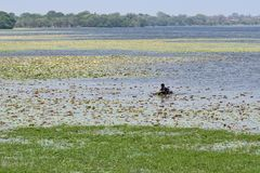 Mężczyzna na jeziornej wodzie zbiera leluja kwiaty zdjęcie royalty free