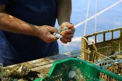 Mężczyzna otwiera ostrygi Zdjęcie Royalty Free
