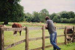 Mężczyzna patrzeje krowy Zdjęcia Stock
