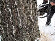 Mężczyzna piłuje gęstego drzewa piłą łańcuchową w zima dniu i trociny lata wokoło obrazy royalty free