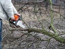 Mężczyzna piłuje spadać gałąź owocowy drzewo z piłą łańcuchową Pojęcie czyścić i odmładzanie ogród w jesieni i fotografia royalty free