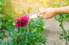 Mężczyzna podlewanie kwitnie w ogrodowym centre na słonecznym dniu kwiatu łóżko, podwórze wąż elastyczny irygacja obrazy royalty free