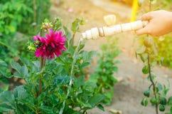 Mężczyzna podlewanie kwitnie w ogrodowym centre na słonecznym dniu kwiatu łóżko, podwórze wąż elastyczny irygacja obrazy stock