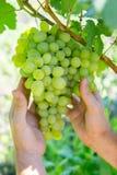 Mężczyzna podnosi winogrona Zdjęcia Royalty Free