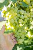 Mężczyzna podnosi winogrona Obrazy Royalty Free
