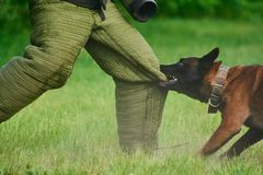 Mężczyzna próbuje zostawać niewywrotną złość psi ` s gryzienie Zdjęcie Royalty Free