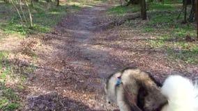 Mężczyzna prowadzi Malamute psa na smyczu wzdłuż lasowego śladu zbiory