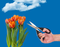 Mężczyzna przycina tulipany w ogródzie Fotografia Royalty Free