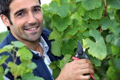 Mężczyzna przycina winogrady Obrazy Stock