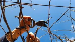 Mężczyzna przycina winogrona zdjęcia royalty free
