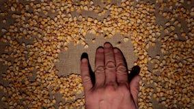 Mężczyzna ręka czyści kukurydzane adra robi ramie adra na burlap zdjęcie wideo