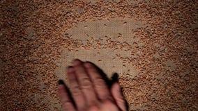 Mężczyzna ręka czyści pszeniczne adra robi ramie adra na burlap zbiory