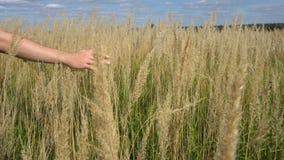 Mężczyzna ręki bieg przez pszenicznego pola Męskiej ręki ucho wzruszający pszeniczny zbliżenie rolnik Żniwa pojęcie zbiory wideo