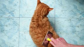 Mężczyzna ręki czeszą czerwonego Brytyjskiego kota na obsiadaniu na błękitnej podłodze Kotów showes swój niezadowolenie gdy właśc zbiory