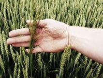 Mężczyzna ręki dotyka świrzepa w pszenicznym polu zieleni pszeniczni potomstwa Zdjęcia Royalty Free