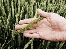 Mężczyzna ręki dotyka świrzepa w pszenicznym polu zieleni pszeniczni potomstwa Obraz Royalty Free