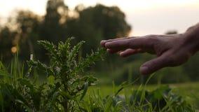 Mężczyzna ręki dotyka spiny trawa zbiory wideo