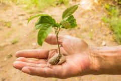 Mężczyzna ręki i Yong roślina Fotografia Royalty Free