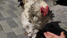 Mężczyzna ręki karmienia kogut zdjęcie wideo