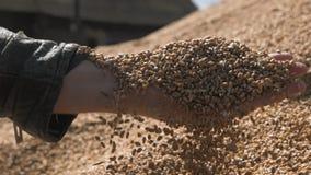 Mężczyzna ręki nalewa kukurydzanych lub pszenicznych nasion żniwo zbiory wideo