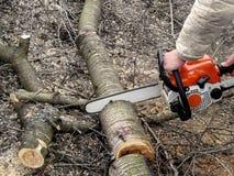 Mężczyzna ręki piłuje czereśniowego drzewa z piłą łańcuchową Pojęcie czyścić i odmładzanie owocowi drzewa w wiosny i jesieni fotografia stock