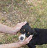 Mężczyzna ręki trzyma głowę śliczny wielki szwajcarski góra psa szczeniak, trawy tło fotografia stock