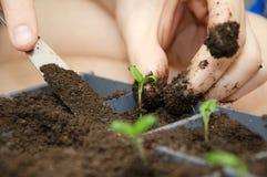 Mężczyzna ręki zasadza pomidor flancy Fotografia Stock
