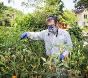 Mężczyzna Rozpyla Jego insekt Zarobaczone Pomidorowe rośliny obraz royalty free