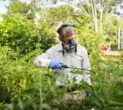 Mężczyzna Rozpyla Jego insekt Zarobaczone Pomidorowe rośliny obrazy stock