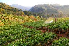 Mężczyzna rozpyla truskawkowej rośliny od Tajlandia Obraz Royalty Free